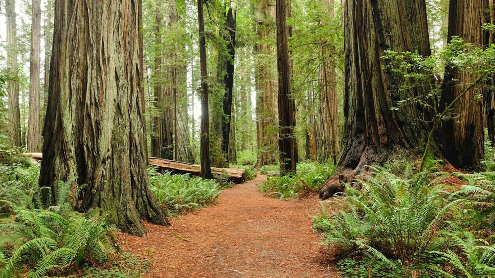 Redwood trees in Redwood National Park.