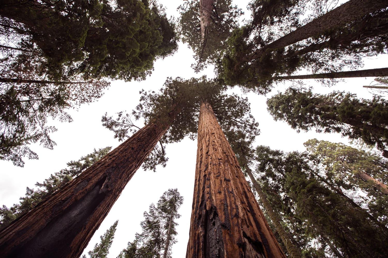 Sequoia trees in Sequoia National Park.
