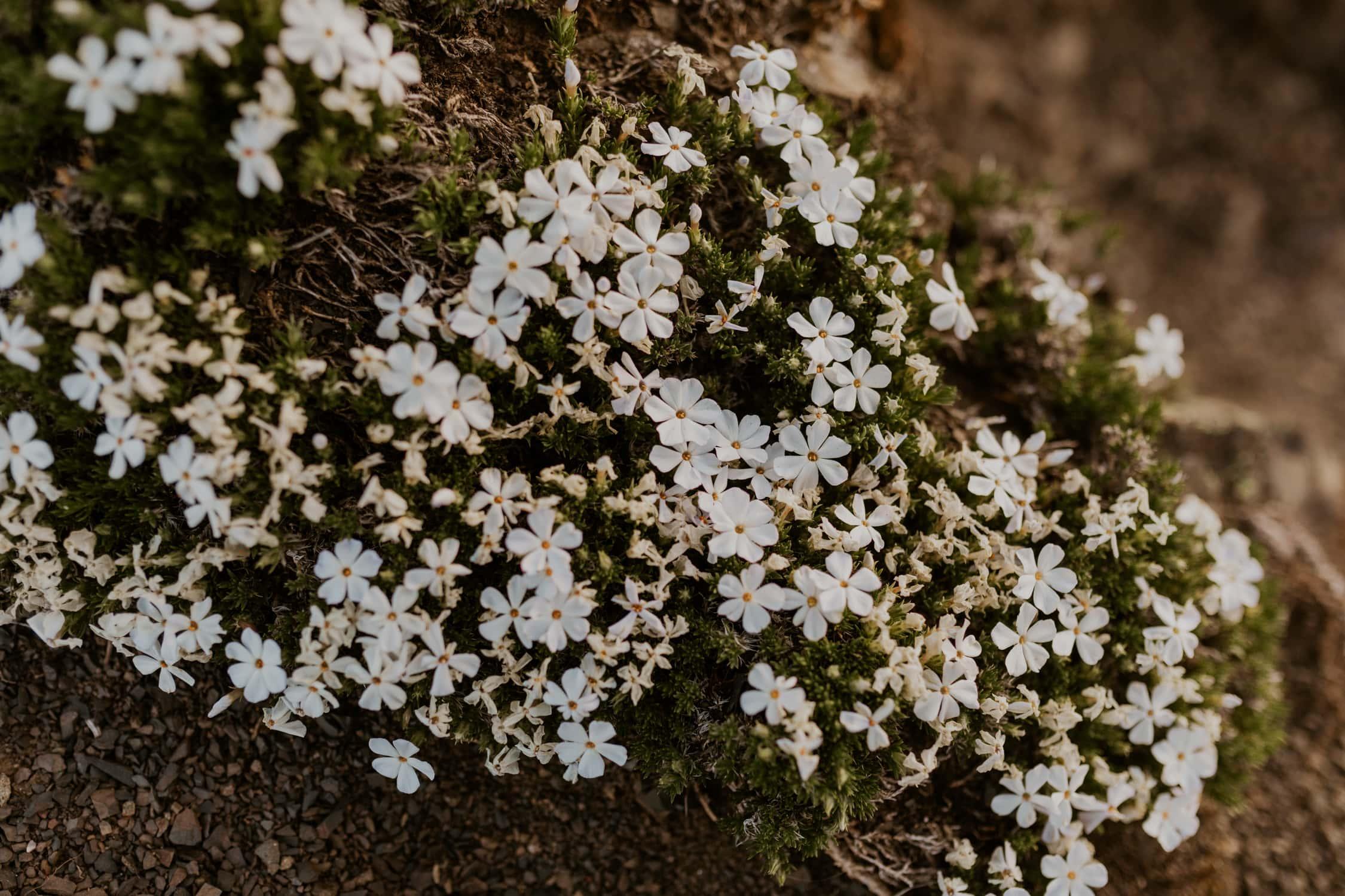 Wildflowers at Hurricane Ridge.